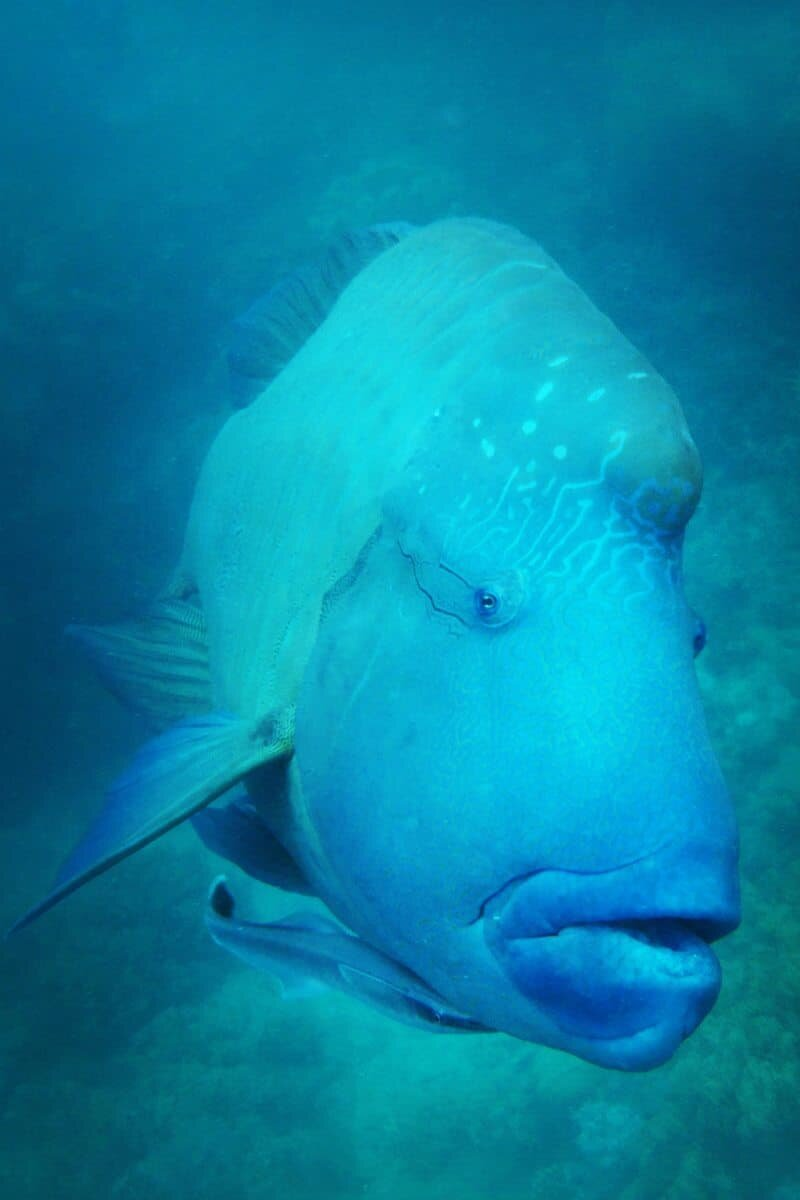 Some fish are of course much friendlier than others! The Maori Wrasse are known for loving a good photo shoot!