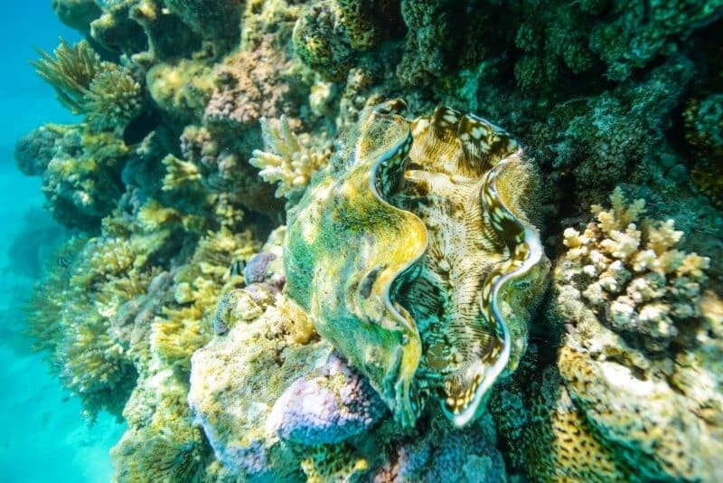 This shot shows the clam amongst the coral, while the following shot is a lot closer to highlight it's gorgeous patterns.