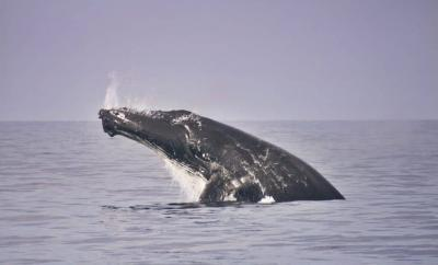 Swim with Whales on the Sunshine Coast by The Wandering Lens