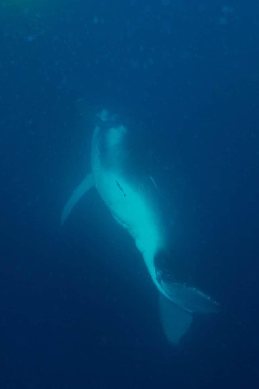 sunshine-coast-whale-swim-by-the-wandering-lens-sunreef-mooloolaba-4