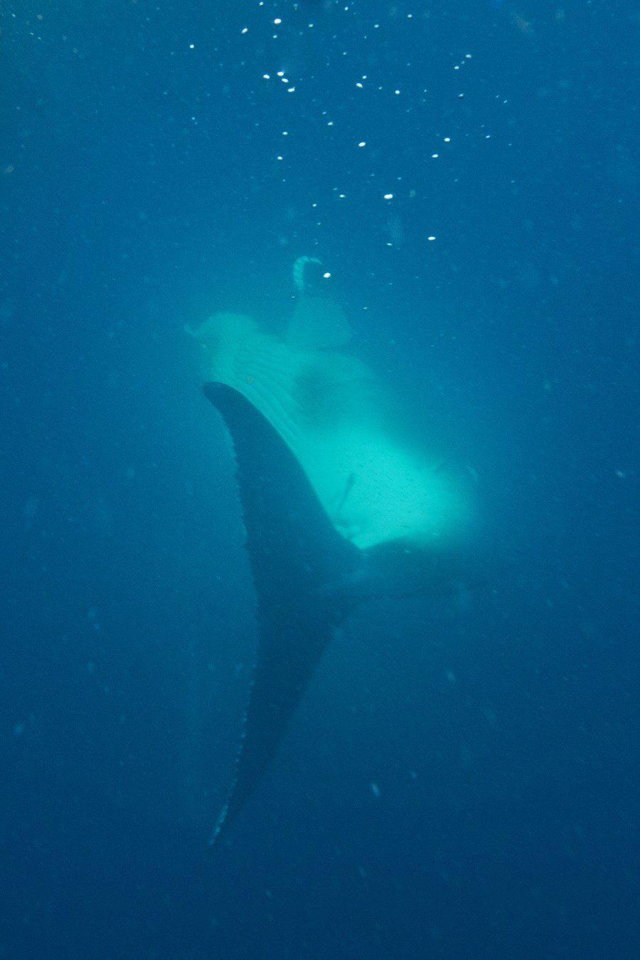 sunshine-coast-whale-swim-by-the-wandering-lens-sunreef-mooloolaba-5