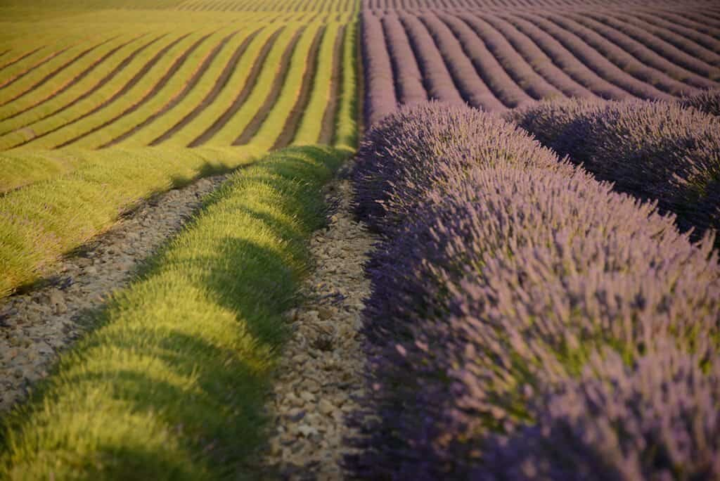 Provence lavender fields and when to photograph them