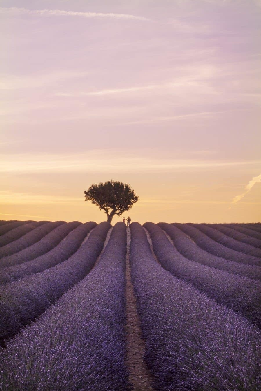 Lavender Fields in Provence France