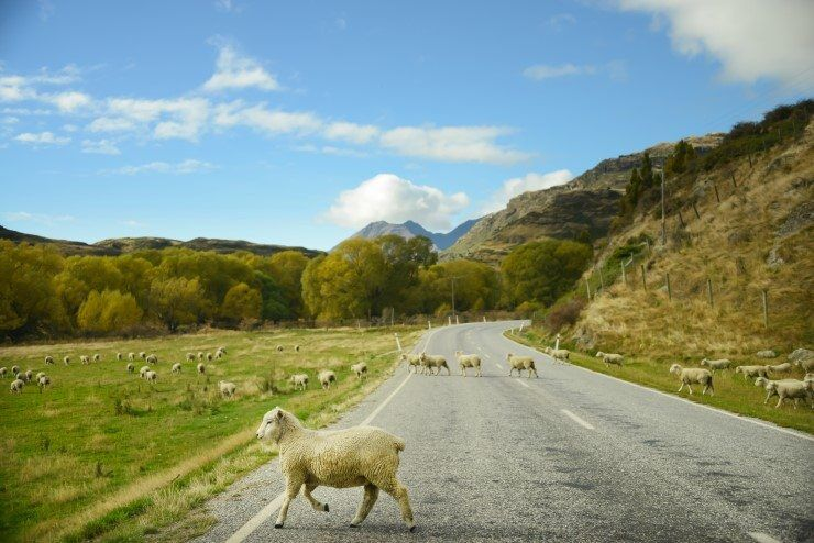 Sheep Crossing the Mount Aspiring Road, Wanaka.