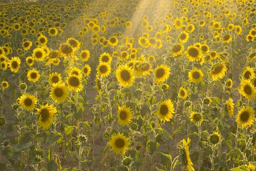 Puimoisson Sunflower Fields Provence France