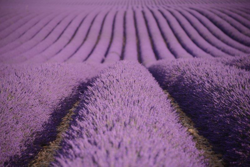 France Lavender by The Wandering Lens