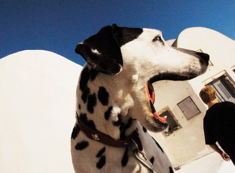 This Dalmation dog caught my eye in Santorini, Greece because his black and white spots against the whitewashed buildings looked great. Then he yawned and it appeared as though he was eating a tourist...