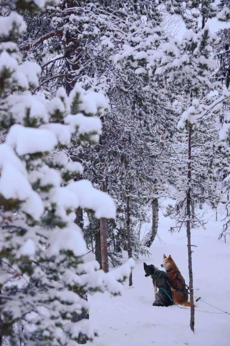 Dog Sledding in Kiruna, Sweden by The Wandering Lens www.thewanderinglens.com