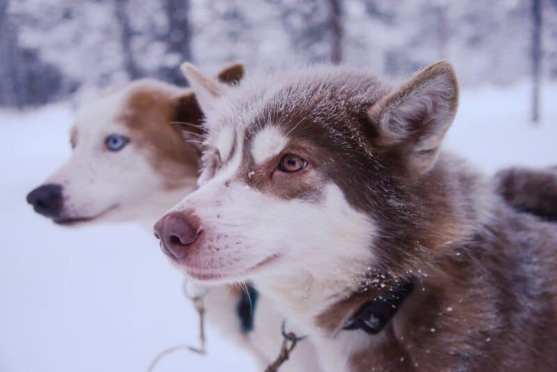 Dog Sledding in Kiruna, Sweden by The Wandering Lens www.thewanderinglens.com