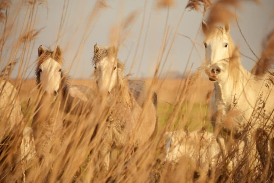 Horses in the Camargue - Places to Photograph in Provence, France