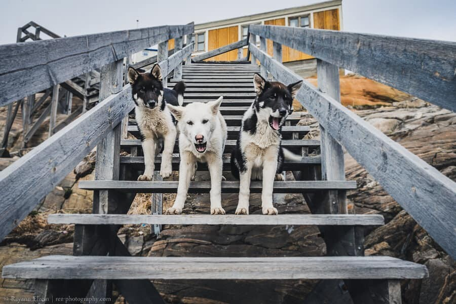 Sled dog puppies on the stairs in Uummannaq, Greenland
