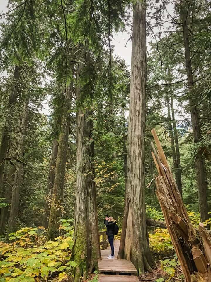 Revelstoke, British Columbia - Giant cedars national park.
