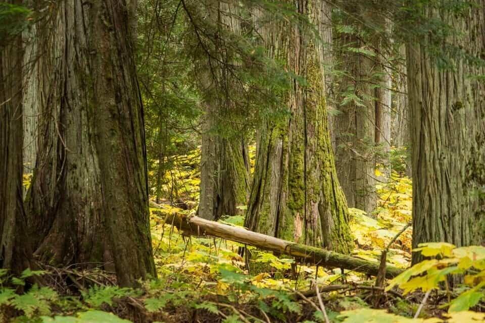 Giant Cedars, Revelstoke, Canada