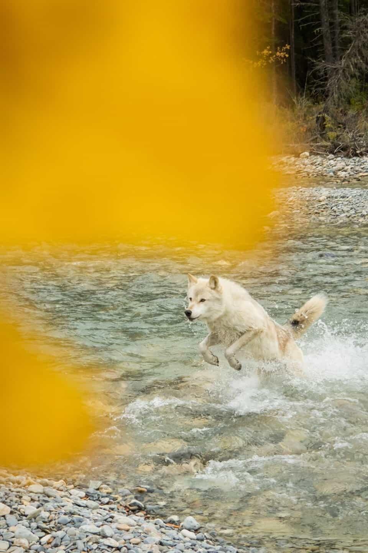 Northern Lights Wildlife Wolf Centre, Golden, British Columbia