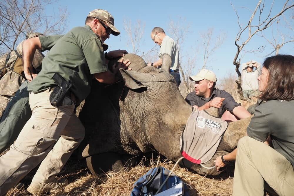 South Africa Rhino Notching-5