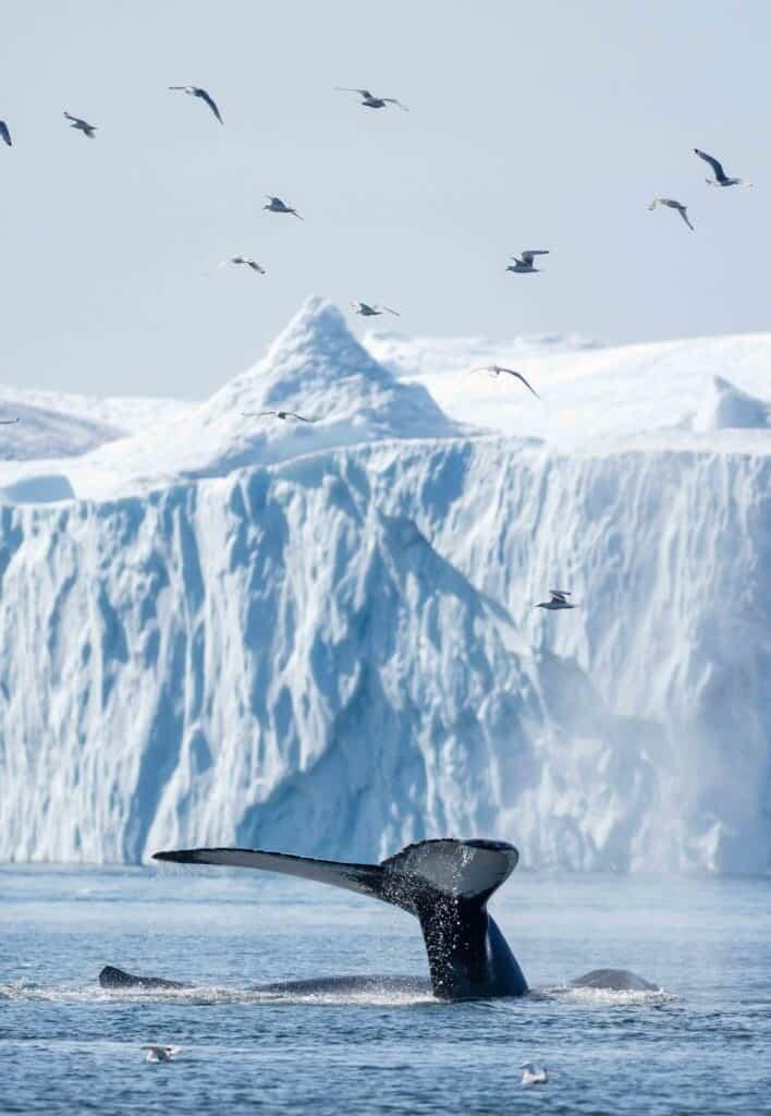 Baleine du Groenland par Lisa Michele Burns